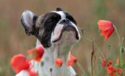 poppies and a puppy
