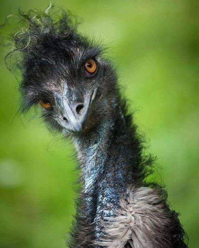 Image result for emu head