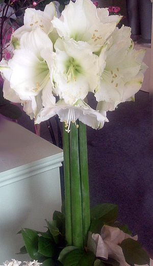 amaryllis is a large tubular trumpet shaped flower on a tall thick juicy green stem