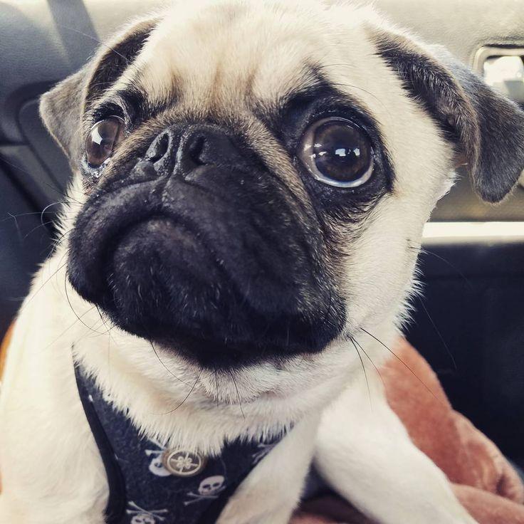 Mom said National Selfie Day is trending on Twitter. So here is my handsome mug! .  #selfies #selfie #pug #pugsofinstagram #pugsoftwitter #pugsofig #pugsofinsta #pugs #pugstagram #dogstagram #dogsofinsta #dogs #dogsofig #dogsofinstaworld #puglife #puggles #petsofinstagram #petsofig #nationalselfieday