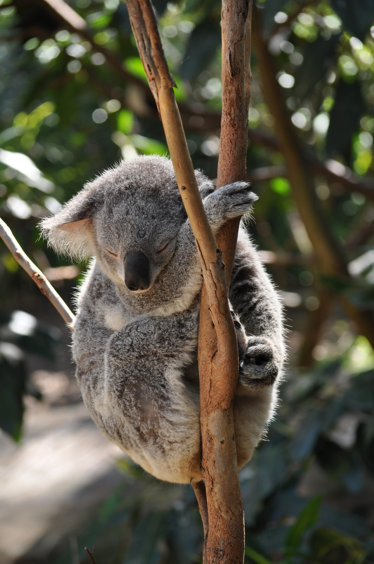 Koala (Blackbutt Reserve, Newcastle, Australia)