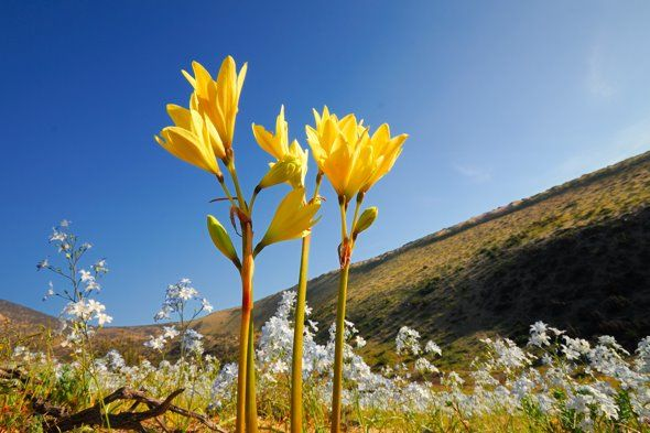 Yellow Añañucas at flowering desert, Atacama Region, Chile.