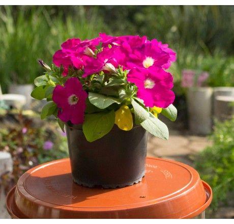 Planta Petunia Rosada | Venta de Plantas y Semillas | Tienda Online