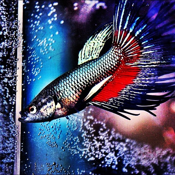 56 best star wars pets images on pinterest star wars for Betta fish petco