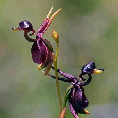 My Favorite Flower Is The Orchid Look At This Beautiful Flying Duck Caleana Major From Australia Attracts Male Sawflies