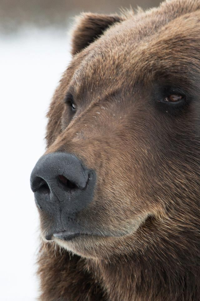 Joe Boxer, a brown bear at the Alaska Wildlife Conversation Center in Portage, AK