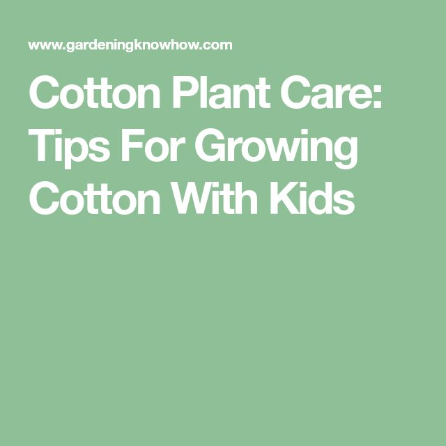 Cotton Plant Care: Tips For Growing Cotton With Kids