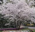 Prunus subhirtella 'Autumnalis Rosea'   Wyss
