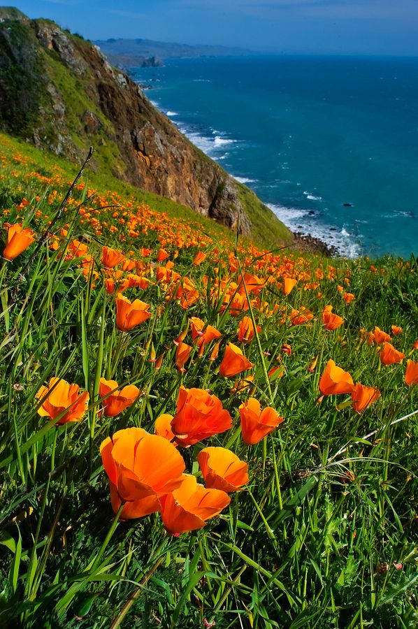 California Poppy on the Sonoma Coast; photograph by Paul Gill. Yes. This is really what it's like here.