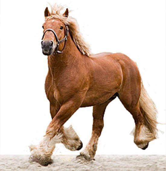 Belgian Draft Horse. Het oerbeeld van de werkpaarden: het Belgisch trekpaard. Kijk naar de inwendige kracht, de elegantie en de persoonlijkheid van deze reus. See the inner force, the elegance and the personality of this giant.