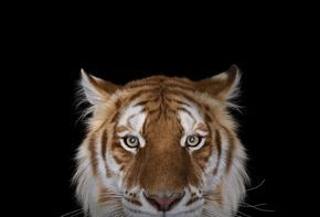 GOLDEN TIGER.                .     I Create Studio Portraits Of Exotic Animals Looking Directly Into The Camera | Bored Panda