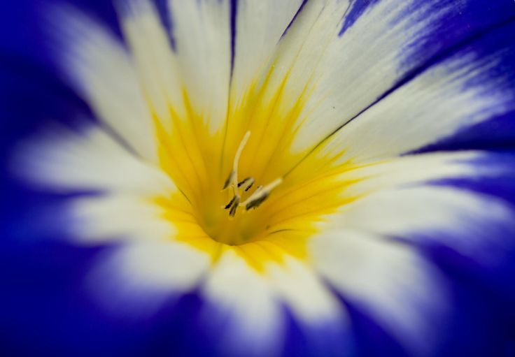 Dwarf Morning Glory (Convolvulus tricolor) by Aziz Nasuti on 500px