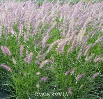 17 best images about grass on pinterest gardens sun and for Oriental grass