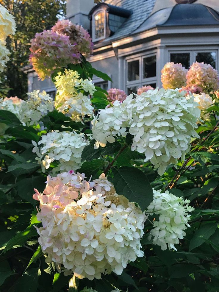 25+ Beautiful Limelight Hydrangea Ideas On Pinterest
