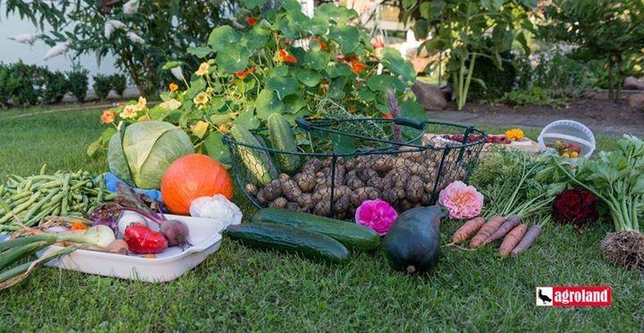 In august se pot planta pentru a fi culese in recolta de toamna: ceapa sfecla morcovi spanac ridichi conopida varza de toamna dovlecelul telina si verdeturi. Gradina in luna august are nevoie de multa apa luna fiind una secetoasa si calda.Solul trebuie udat fie dimineata devreme fie la apusul soarelui. Tratamentele impotrva daunatorilor sunt obligatorii in cursul lunii august pentru a asigura recoltele de toamna si culturile semanate in august. Mare atentie la ardeii gogonelele fasole si…