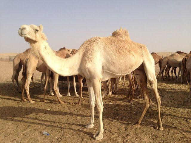 Dica de passeio para quem estiver de viagem para Abu Dhabi lá no Blog Midá.
