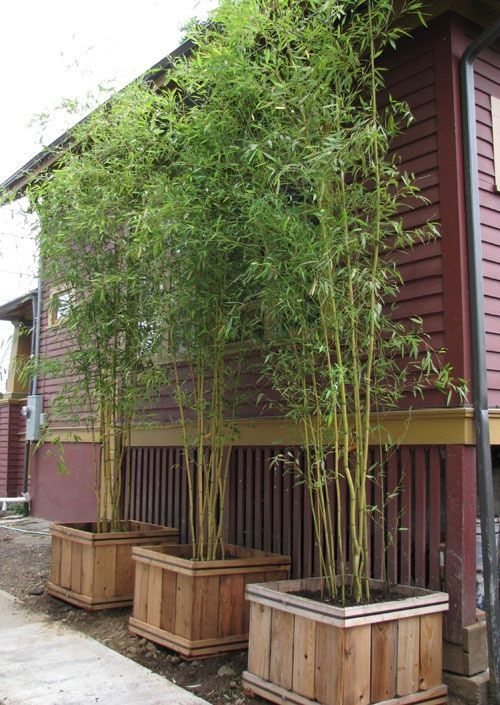 Bamboo Screening Bamboo makes for excellent tall, lush and dense screens! It can grow in the ground or in a planter, depending on your needs. Use it in an area of the yard that perhaps has high exposure from the road or neighboring home.