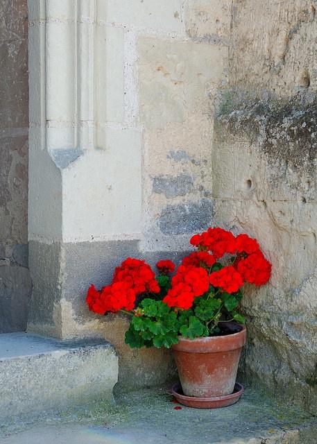 Geraniums ~ France