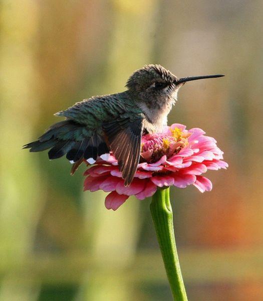 Baby hummingbird resting on a zinnia.