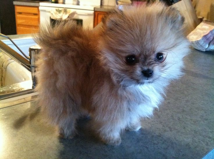 Cutest thing in the world<3 toy Pom