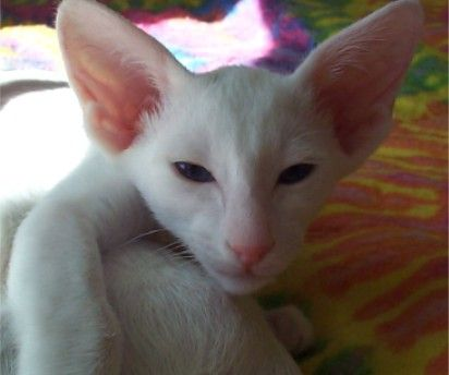 Oriental Shorthair  Big hears and an angular face, the Oriental Shorthair resembles a Siamese cat.  Photo credit: Wikipedia Commons