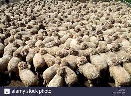 Image result for FARM ANIMALS AUSTRALIA