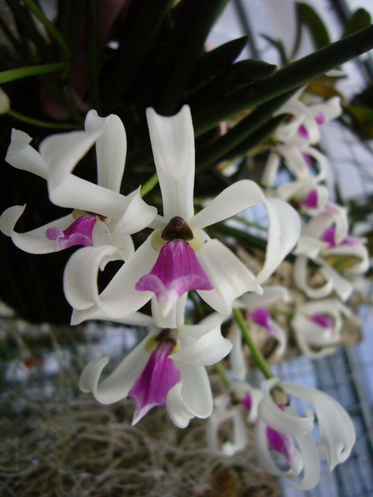 Leptotes bicolor Syn.: Tetramicra bicolor; Leptotes serrulata; Leptotes bicolor var. glaucophylla;Leptotes galucophylla; Tetramicra serrulata; Leptotes bicolor var. serrulala June 5, 2016