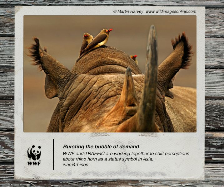 WWF and TRAFFIC are working together to shift perceptions about rhino horn as a status symbol in Asia. #iam4rhinos