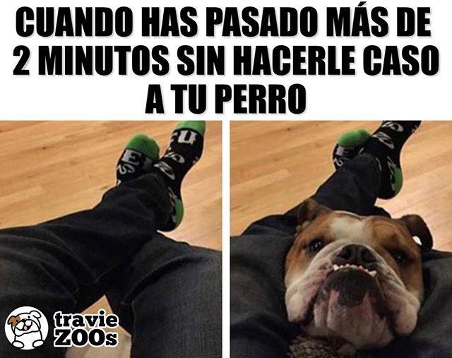 Hola Por Que Rayos No Me Estas Acariciando Dog Bulldog Perro Atencion Petme Memes Bull Terrier Funny