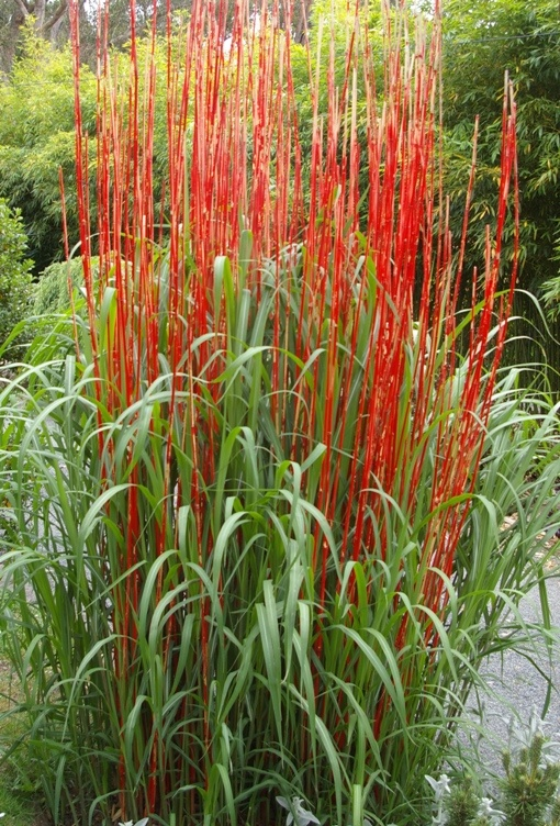 17 best images about ornamental grasses on pinterest for Tall oriental grass