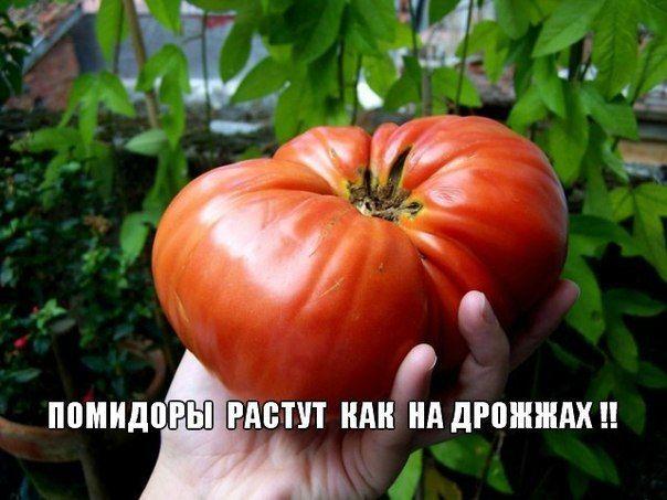 """ВОЛШЕБНЫЙ БАЛЬЗАМ"""" ДЛЯ РОСТА ПОМИДОРОВ"""