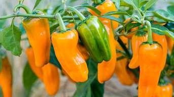 Odborník radí: Ako polievať papriky v horúčavách?