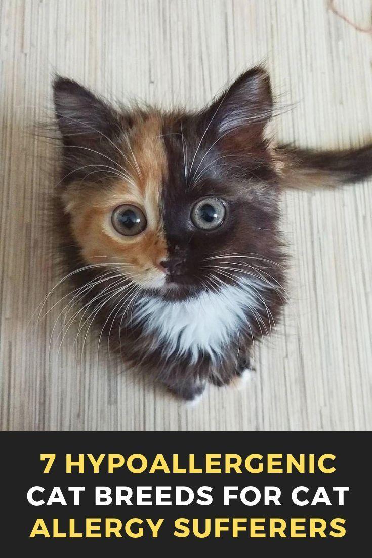 7 Hypoallergenic Cat Breeds For Cat Allergy Sufferers Cats Cat Catsofinstagram Of Catstagram Beautifulcats Hypoallergenic Cats Cat Allergies Cat Breeds