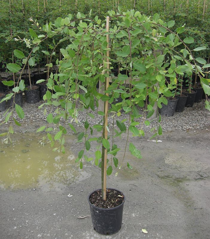 Dwarf ornamental trees dwarf weeping willow tree salix for Weeping trees for small gardens
