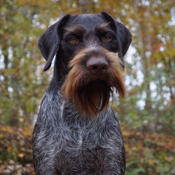 Pin By Dan Easlon On Critters Dog Best Friend German Wirehaired Pointer Happy Dogs