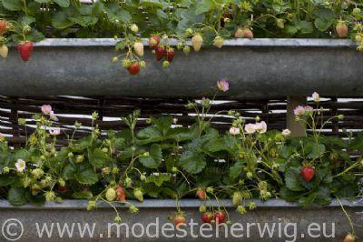 Aardbeienplant in goot