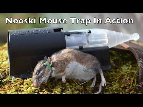 NOOSKI Mouse Trap In Action. RubberBands For Mouse Trap & Goat Castration - YouTube