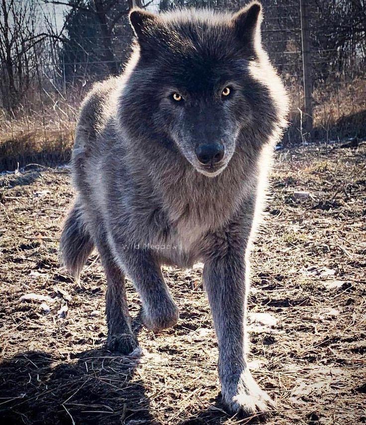 что регина модные картинки волки них покладистый, при