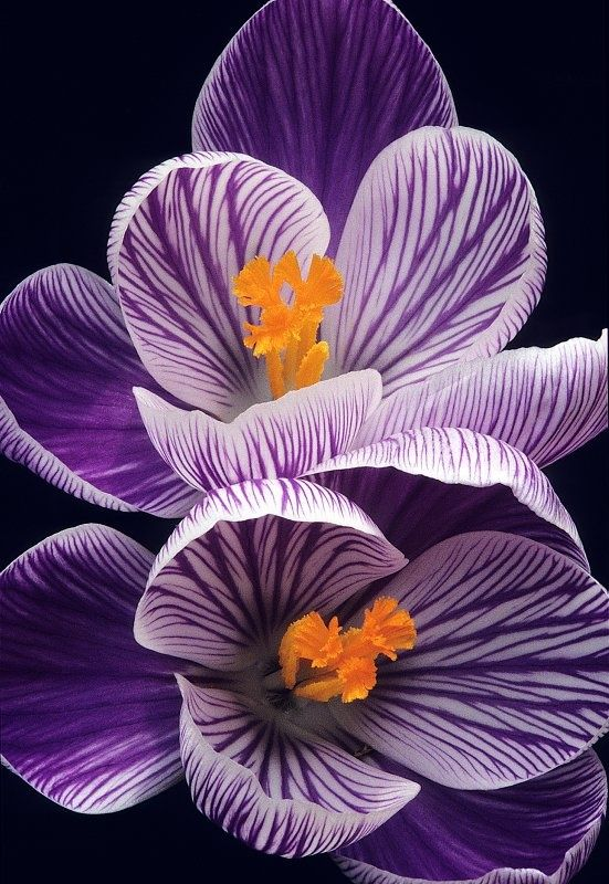 Purple and White Crocus with yellow centers on black background