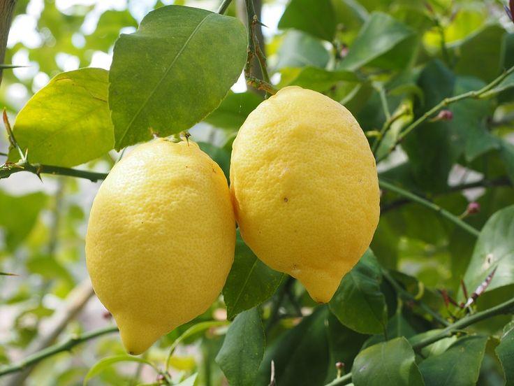 Citrón, Limone, Citroníku, Citrus × Limon, Citrusové