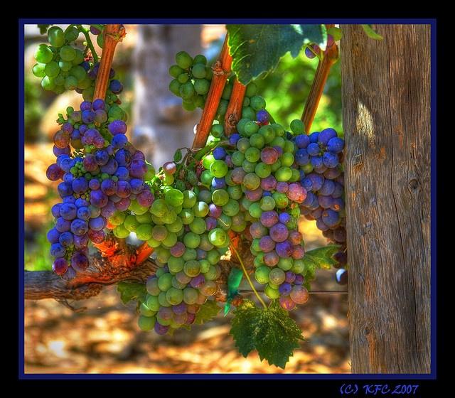 Fruit of the Vine, California wine grapes