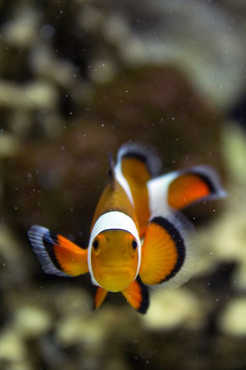 547 best images about freshwater aquarium life on pinterest for Freshwater clown fish