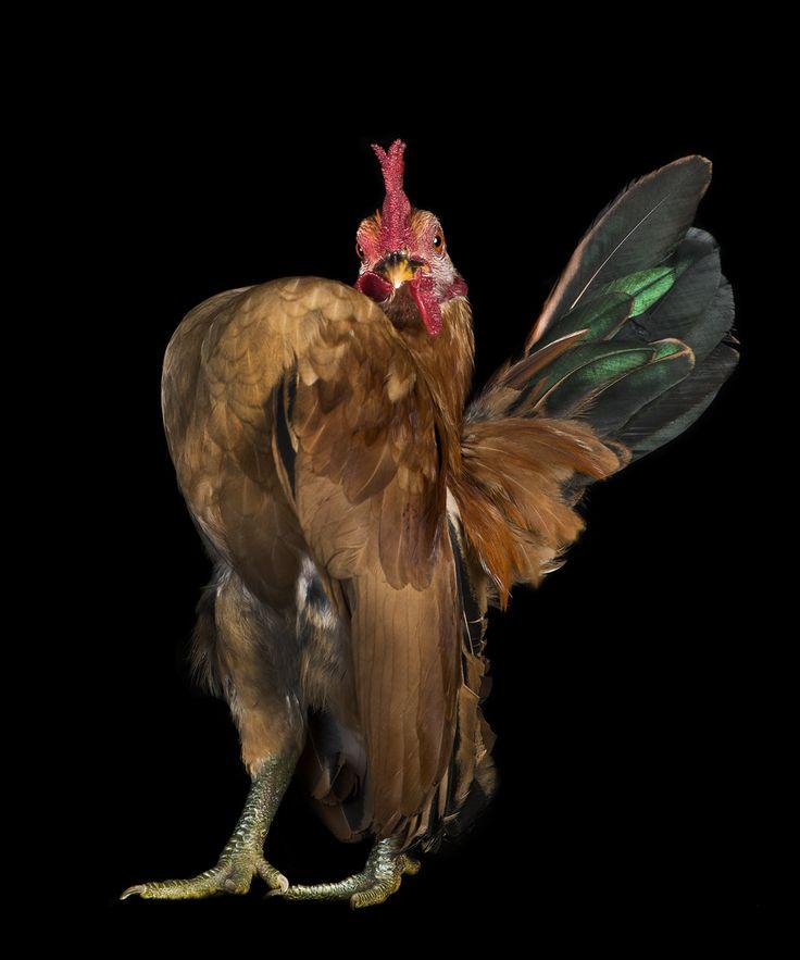 BOOK021_2012_009_ChickenCocks_ERN0443_Pobeda.jpg (992×1191)