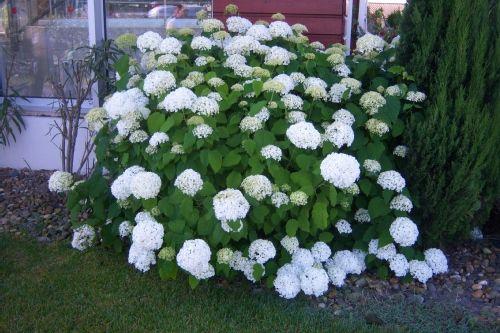 25 best hydrangea arborescens annabelle ideas on pinterest. Black Bedroom Furniture Sets. Home Design Ideas
