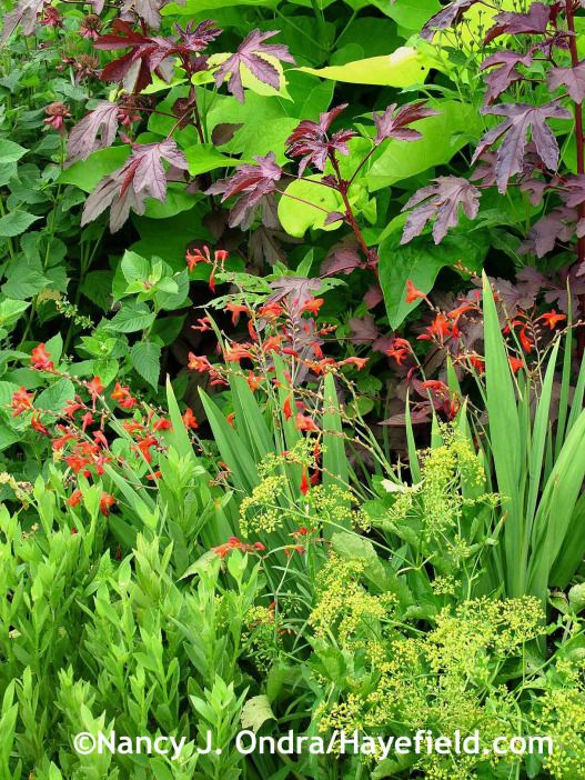 'Red Shield' cranberry hibiscus (Hibiscus acetosella) with Crocosmia 'Emberglow' and parsnip (Pastinaca sativa) flowers