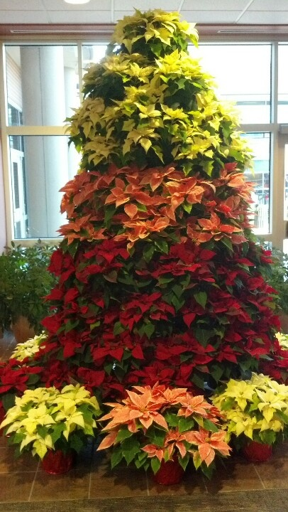 - Poinsettia Tree Holiday Ideas Poinsettia, Christmas, Poinsettia Tree