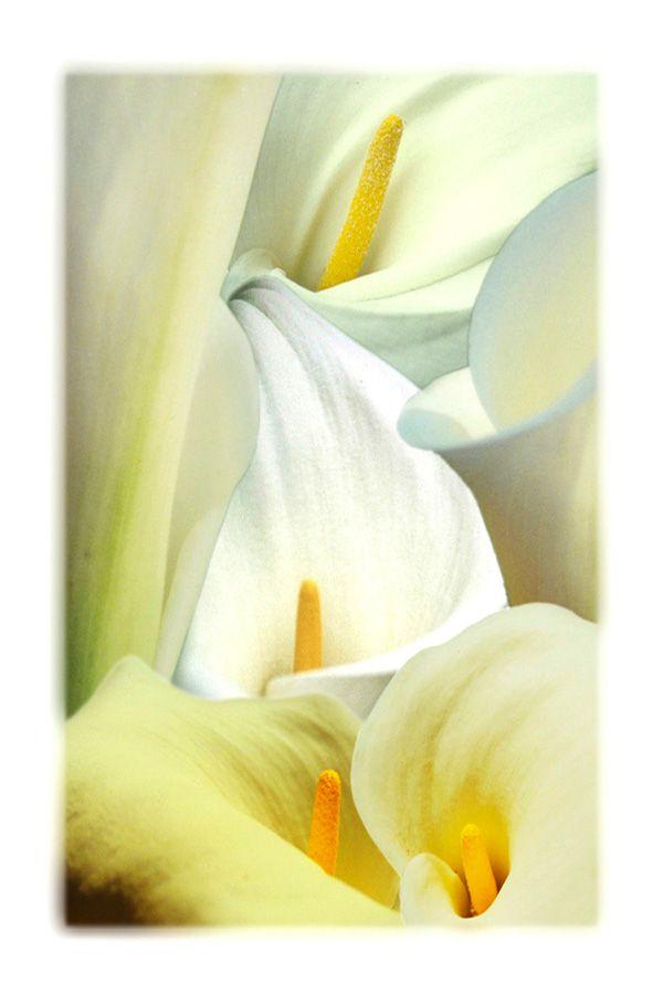 """""""Smooth as Silk"""" - Calla Lily"""