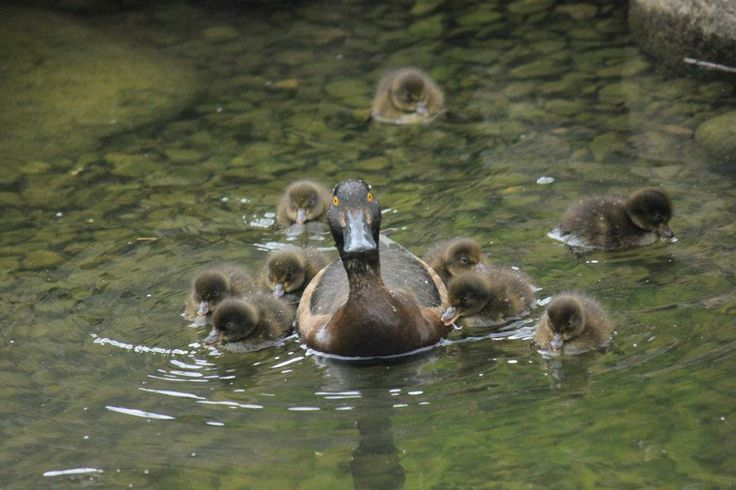 Golden Eye and Ducklings