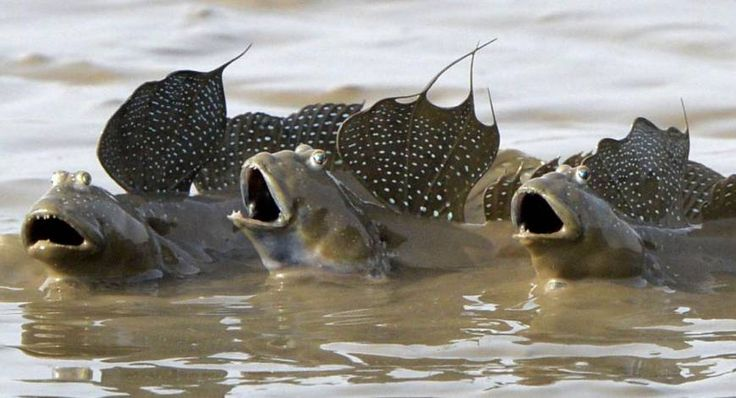 I saw this photo and knew I had to share it with you right away!  Trio of mudskippers.