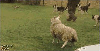 Ce mouton à du avaler de la cocaïne en broutant ...